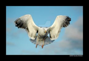 Norwegian Gull 4 by grugster