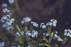 forget-me-never by victimofemotion
