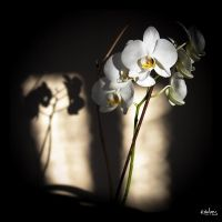 Flowers and shadows by rdalpes