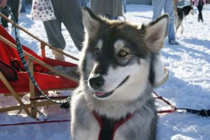 Dog Sled Event 12 by NamekAngelIvy