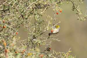 Verdin Feeding on Wolfberry by amzimme