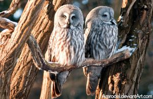 Two Owls by amrodel