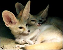 Fennec fox: Love is in the ear by woxys