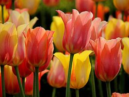 Tulips by dmguthery
