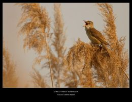 Great Reed Warbler by ClaudeG
