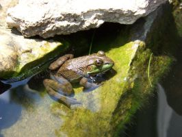 Young Bull Frog by KYghost