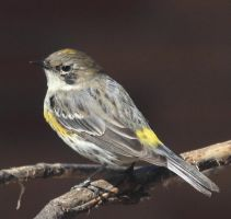 Yellow rumped warbler by Laur720