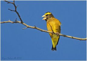 Evening Grosbeak by Ryser915