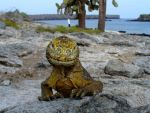 Yellow Faced Iguana by AndySerrano
