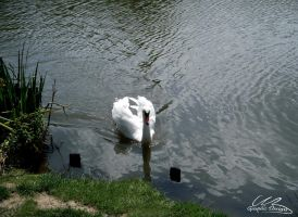 Swan Ripples by AngelitoCaz