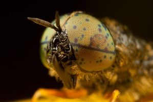 Soldier Fly at x5 by Alliec