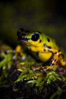 Dendrobates by aa-carr