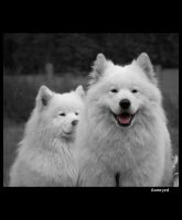 Samoyed 4 by Pawkeye