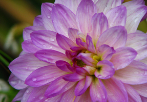 Dahlia by PhotographyFace