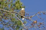 Bald Eagle by jhg162