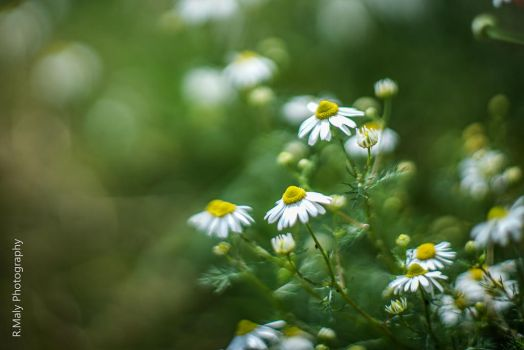 Camomile by TLO-Photography