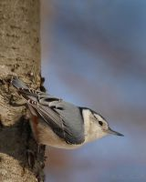 White-breasted Nuthatch by AlinaKurbiel