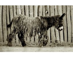 the rasta donkey by 13-septembre