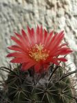 Cactus (Ps) with 1 red flower (14 08m 29) #61 by UAkimov09