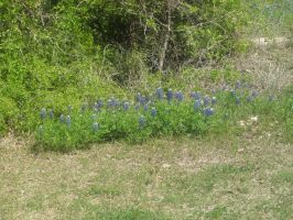Bluebonnets by Ironhold