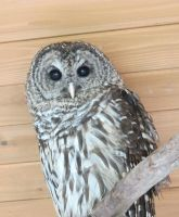Hamlet the Barred Owl 3b by Windthin