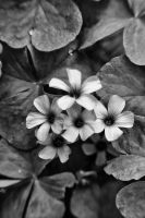 Black and white flowers by denehy