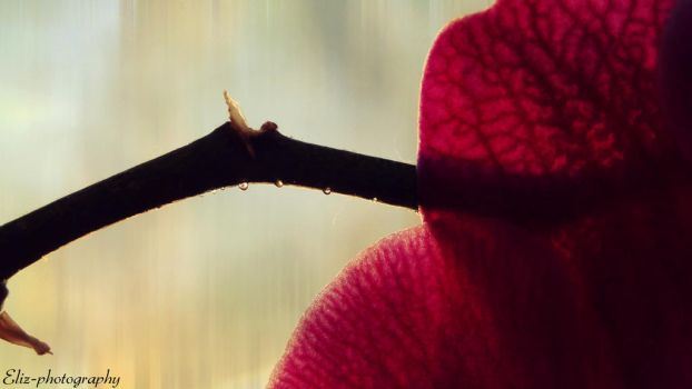 Orchid by Eliz-photography