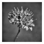 Flower: black and white by uosiek1