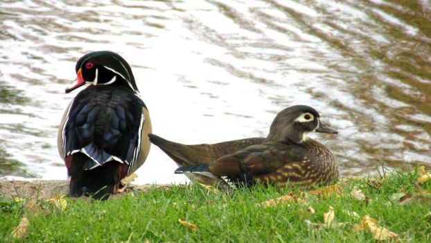 Wood Duck Couple 0282 by Zorias