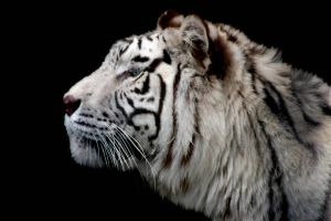 White tiger faced by TlCphotography730
