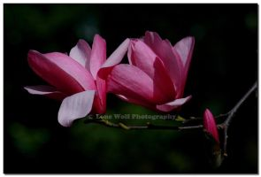 Pretty in Pink by LoneWolfPhotography