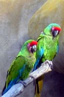 Parrots by Tremellochick