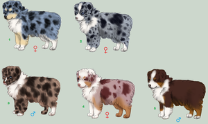 Australian Shepherd Pups - CLOSED by ForgottenAmnesty