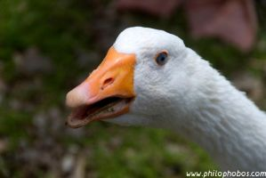 white goose II by Philophobos