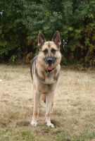 German Shepherd Dog by elvaniel