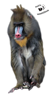 Cut-out stock PNG 61 - lovely mandrill by Momotte2stocks