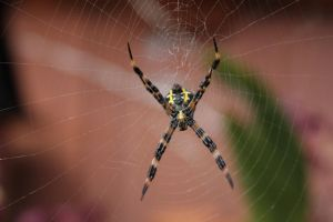 Garden Spider 01 by silenced-revelation