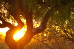 Sunset Through a Mesquite Tree by TheBirdsFeathers