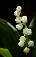 lily of the valley... by clochartist-photo
