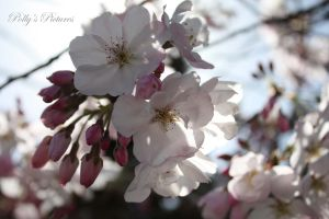 Cherry Blossoms by Amb08