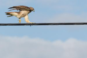 Hawk High Wire Act 3 by bovey-photo