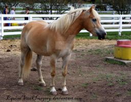 Haflinger 9 by EquineStockImagery