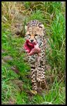 Cheetahs Kill by Haywood-Photography
