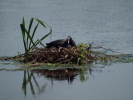Coot 00 - Jul 13 by mszafran