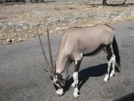 Gemsbok by SilentAddiction23