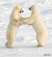 Dance of the white bears (II) by jaffa-tamarin