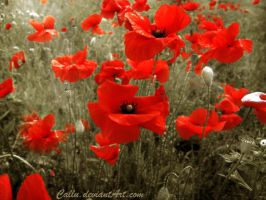 Poppies Again by Callu