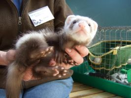 Ferret Baby by pixi3angeldreamx