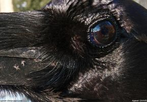 Raven 3 by Agaver