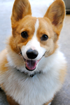 Riley the Happy Corgi! by lovelyskylark